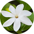 Image of a single Tahitian gardenia in bloom