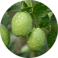 Image of pequi fruit still on the tree, dotted with droplets of water
